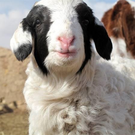 内蒙古草原现宰整羊(白条羊)半只15斤