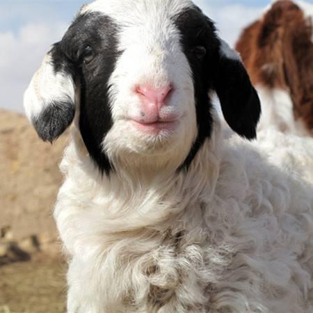 内蒙古草原现宰整羊(白条羊)一只30斤
