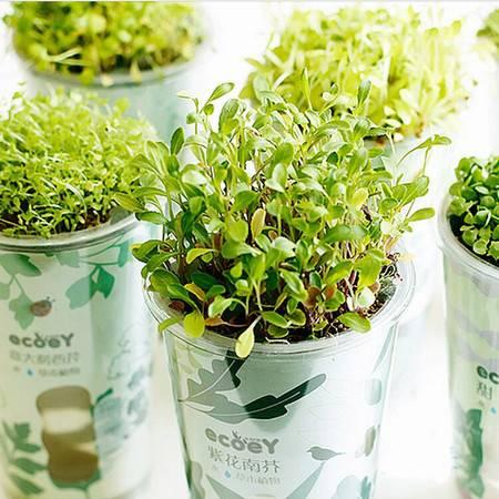 乐活栽培 自动吸水盆栽 绿色健康植物 迷你创意绿植 紫花南芥XM5202