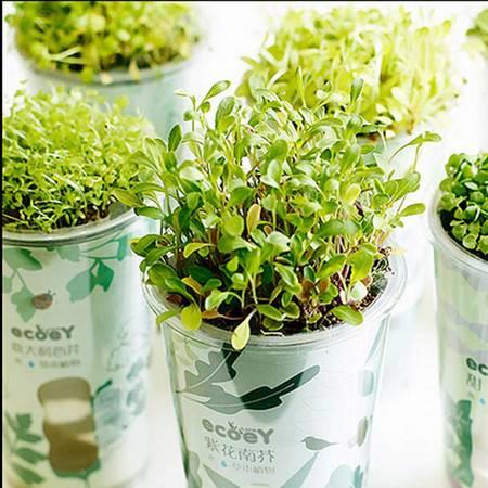 乐活栽培 自动吸水盆栽 绿色健康植物 迷你创意绿植 意大利西芹XQ2302