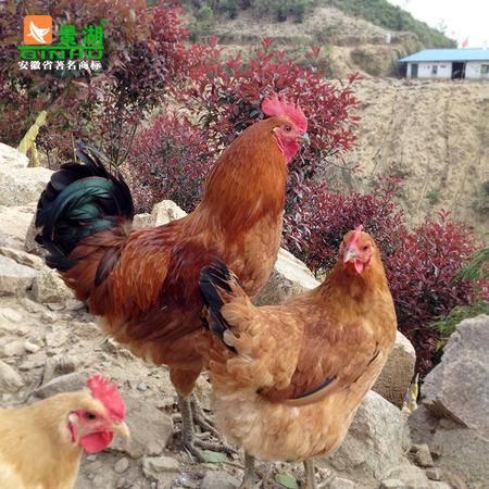 安徽 有机老公鸡1只 新鲜冷鲜鸡肉 林下放养土鸡 农家散养公鸡
