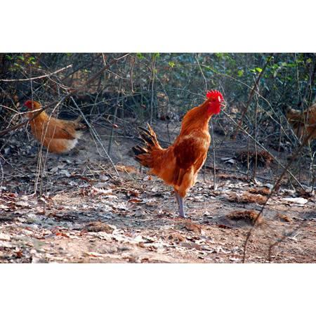 西皖生态 散养土公鸡 真空包装净膛重不低于2.3斤