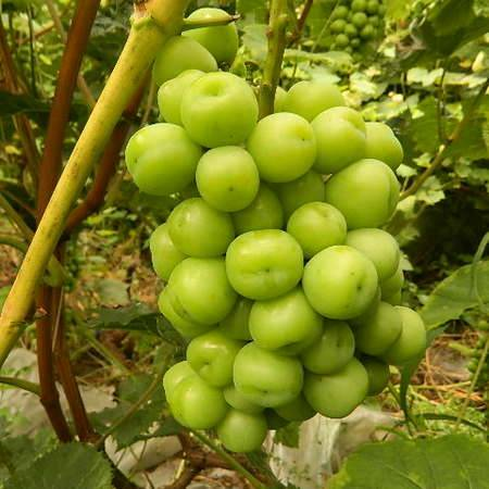 延庆农品万果果园有机阳光玫瑰葡萄4斤