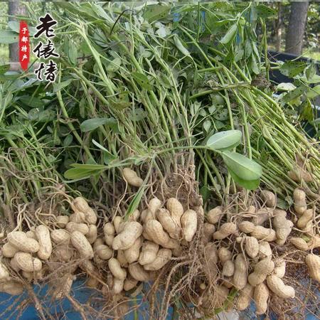 于都特产农田自种花生纯天然新鲜带壳干花生
