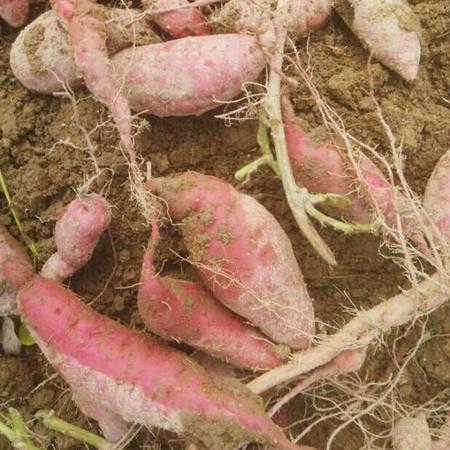 限时抢购8.8元5斤装 瑞昌农家自种红薯 地瓜番薯(限购江西省)