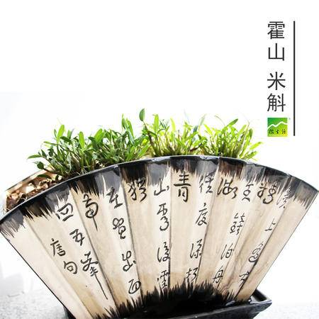 徽生源 中华仙草 霍山米斛苗 3年苗(10-15株/丛) 胜似铁皮石斛苗