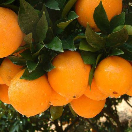 新鲜水果 脐橙