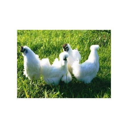井冈山特产乌鸡之乡散养乌鸡熟食卤味五香型乌鸡肉