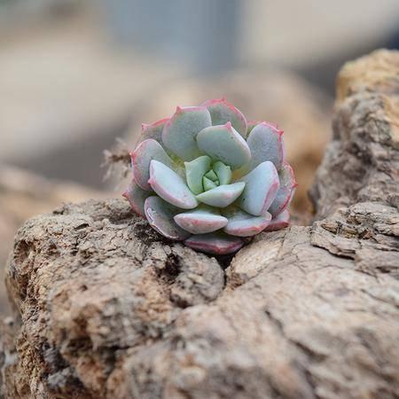 花间莳 026凌波仙子 3-4cm有根(带盆带土)萌美多肉植物盆栽 办公室家居生态花卉绿植
