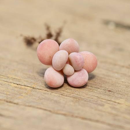 花间莳 桃蛋 3-4cm单头(带盆带土)萌美多肉植物盆栽 办公室家居生态花卉绿植