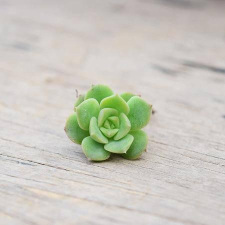 花间莳 尼克莎娜 3cm有根(带盆带土)萌美多肉植物盆栽 办公室家居生态花卉绿植