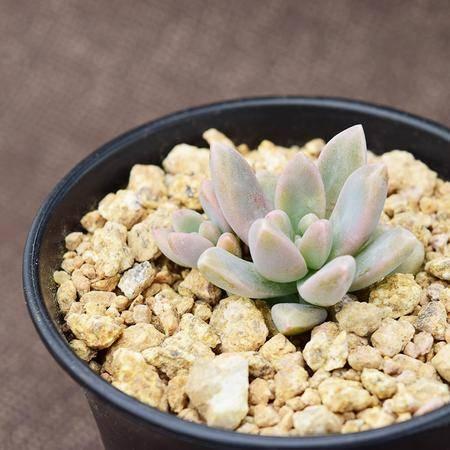 花间莳 秋丽 3-4cm(带盆带土)萌美多肉植物盆栽 办公室家居生态花卉绿植
