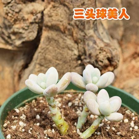花间莳 球美人 6cm 3-4头(带盆带土)萌美多肉植物盆栽 办公室家居生态花卉绿植