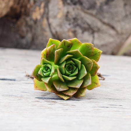 花间莳 狮镜 4-5cm单头(带盆带土)萌美多肉植物盆栽 办公室家居生态花卉绿植
