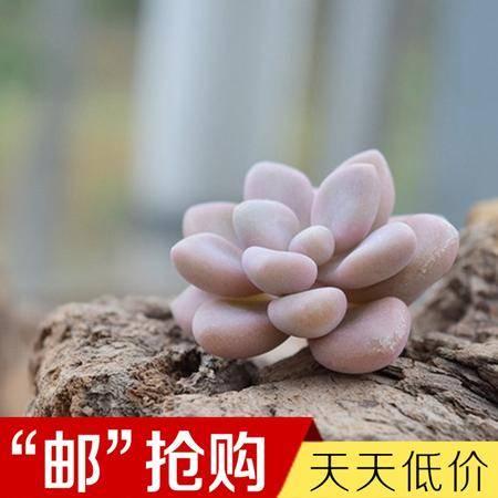 花间莳 艾伦 3cm(带盆带土)萌美多肉植物盆栽 办公室家居生态花卉绿植