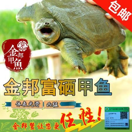 【买一送一】}金邦生态富硒甲鱼 1300g自然生长5年黄淮甲鱼 团鱼 中华鳖包邮