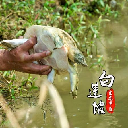 怀远白莲坡生态甲鱼自然生长4年以上700g-750g团鱼水鱼中华鳖鲜活包邮