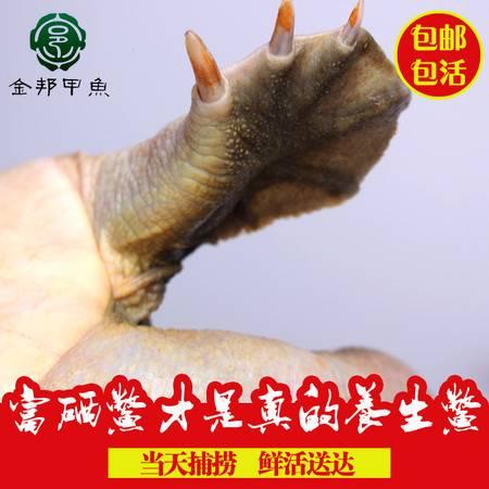 【买一送一】金邦生态富硒甲鱼自然生长4年以上800团鱼水鱼中华鳖1.6斤鲜活礼盒装包邮