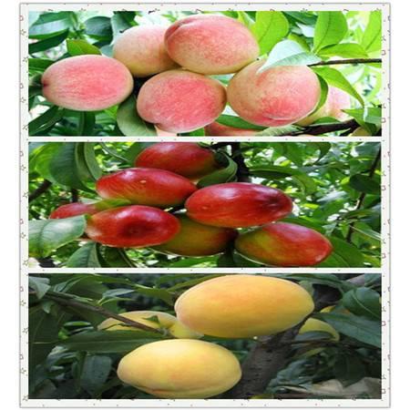 关李  桃子组合  黄桃3斤 油桃3斤 水蜜桃3斤 精美包装 送礼必备