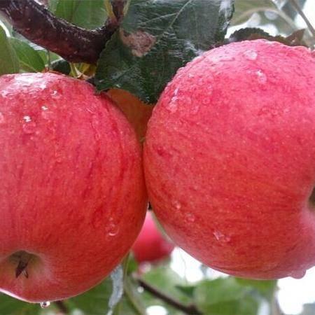 锦曙光牌红富士苹果