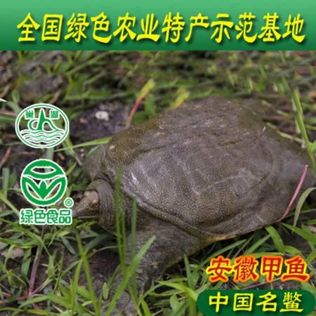 安徽巢湖牌野生态甲鱼3.6斤-3.8斤6年鳖,18省包邮品牌正宗