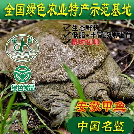 安徽巢湖牌野生态甲鱼特惠2.5-3斤四年生外塘放养甲鱼