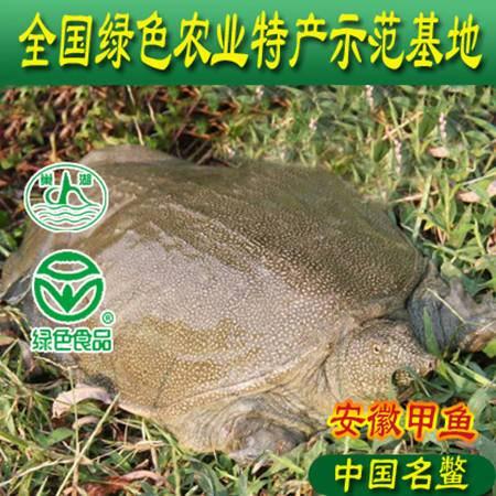 安徽巢湖牌生态甲鱼自然生长6年以上4斤左右中华鳖团鱼水鱼鲜活包邮