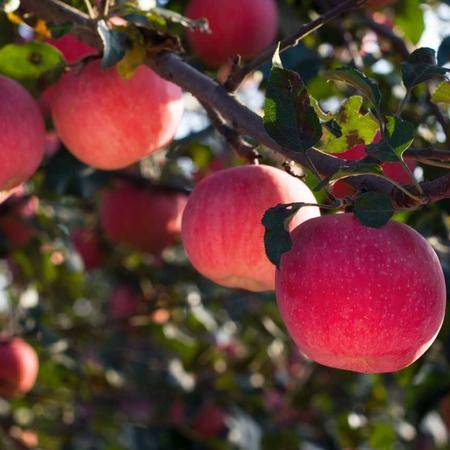 【陕西特产】黄灵苹果  16粒简装礼盒 约7斤