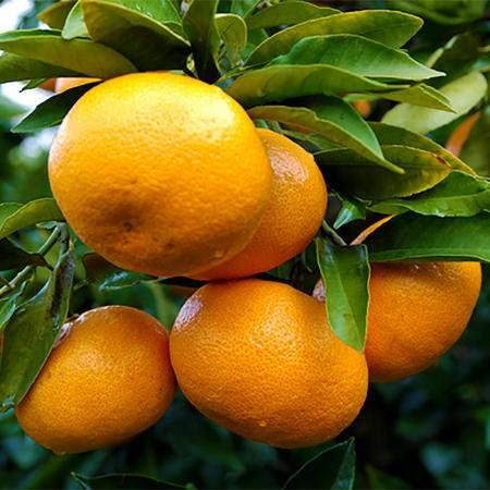 现摘现发石门柑橘蜜桔 薄皮桔子 新鲜水果 4.5斤装柑桔 产地直发