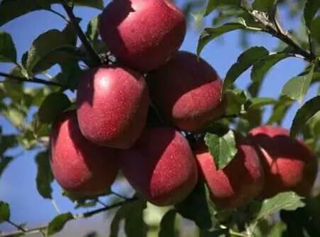 羌山红果子