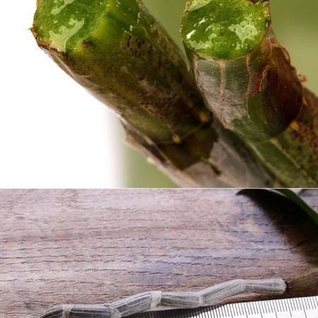 品泽丰源 3年生新鲜铁皮石斛鲜条 传统滋补品500克