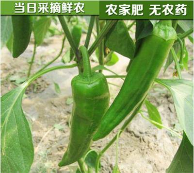 【此产品为预售,下单一个星期内发出】海南儋州农家辣椒