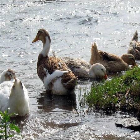 皖北农家散养土鸭老鸭子水鸭痳鸭草鸭鸭肉老鸭汤发活鸭1.5kg包邮