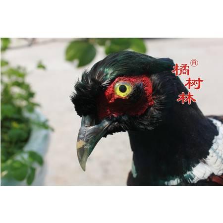 橘树林野鸡标本摆件