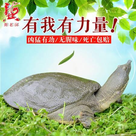 龚老汉甲鱼1.5斤生态无公害团鱼水鱼4年公750g中华鳖活体水鱼 纸红牌