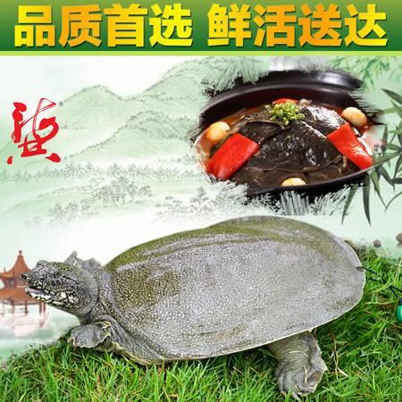 龚老汉生态甲鱼五年仿野生活体中华鳖1.3斤水鱼 团鱼 纸黑牌