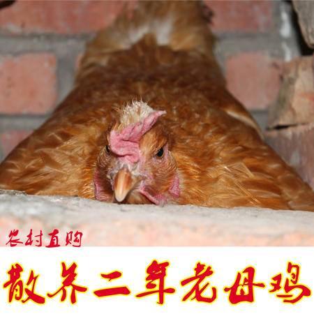 明光特色 农村老母鸡 农家散养  顺丰包邮