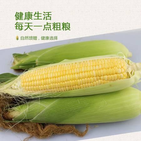广西横县富硒甜玉米 5斤 原汁源味原生态