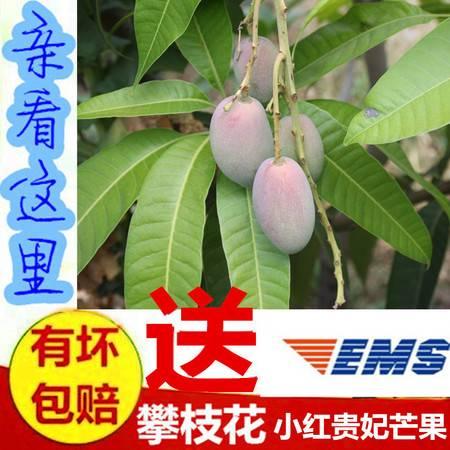 攀枝花小贵妃芒果 新鲜水果 10斤装 四川包邮