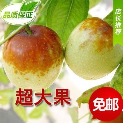 十月红 100%正宗黄骅冬枣 新鲜鲜枣 脆甜五斤/箱原产地发货超大果