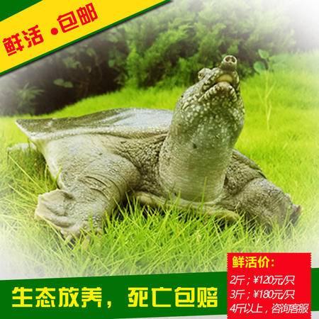 仙福野外放养无激素甲鱼生态甲鱼2斤活体中华鳖包邮
