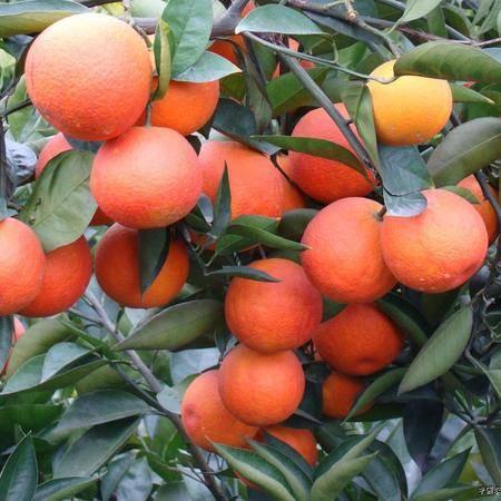 长寿长寿湖鲜美血橙  2.5kg