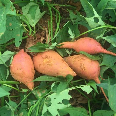 余江特色 中国科学院红壤生态实验站-农家自产新鲜红薯(3斤体验装)