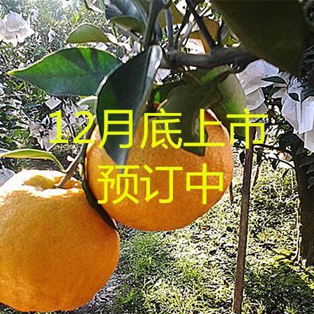 蒲江正宗春见(耙耙柑)      60cm-75cm小果5斤包邮