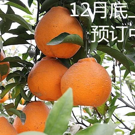 蒲江正宗春见(耙耙柑)中果75cm-90cm5斤包邮