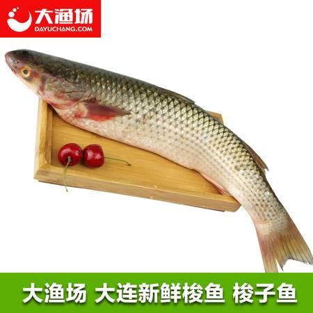 【大渔场】大连新鲜梭鱼 海鱼 红眼鱼  梭子鱼 大连海鲜 600g/条