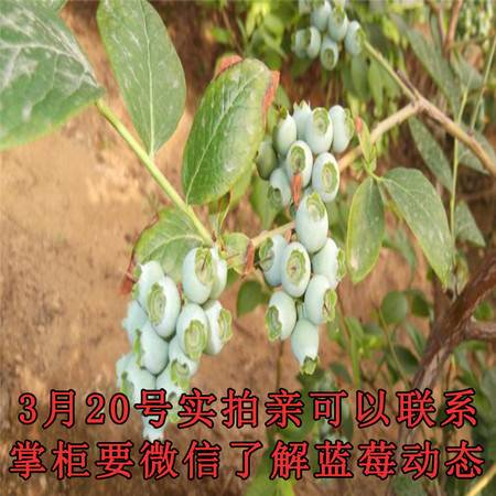 新鲜上市蓝莓果抗辐射保护视力预定中黑金砖水果1斤