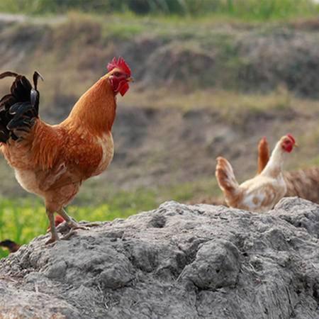 沭阳土特产正宗农村散养土鸡小公鸡活鸡现杀1只