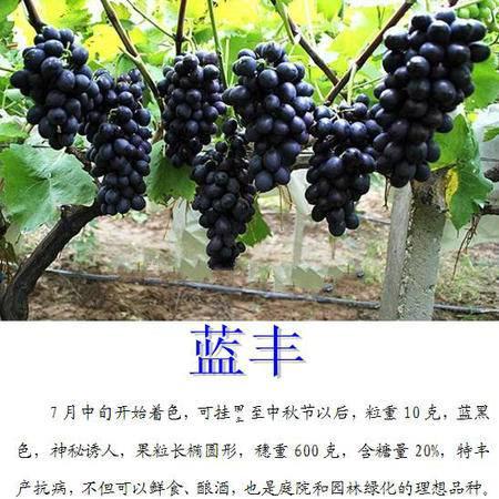 本阳  灵璧县金润蓝丰葡萄  甜味    1斤/箱  小型装