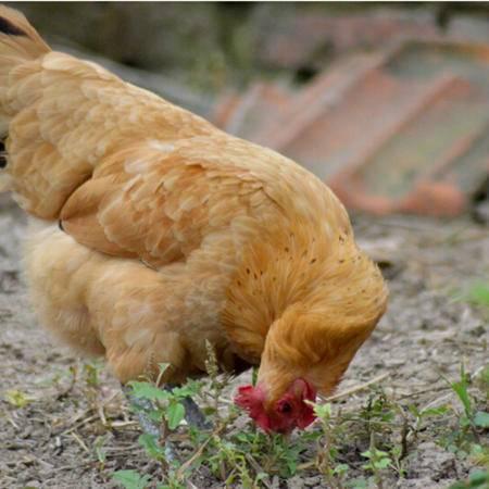 正宗土鸡老母鸡(四斤) 乐至农家生态散养  鸡肉
